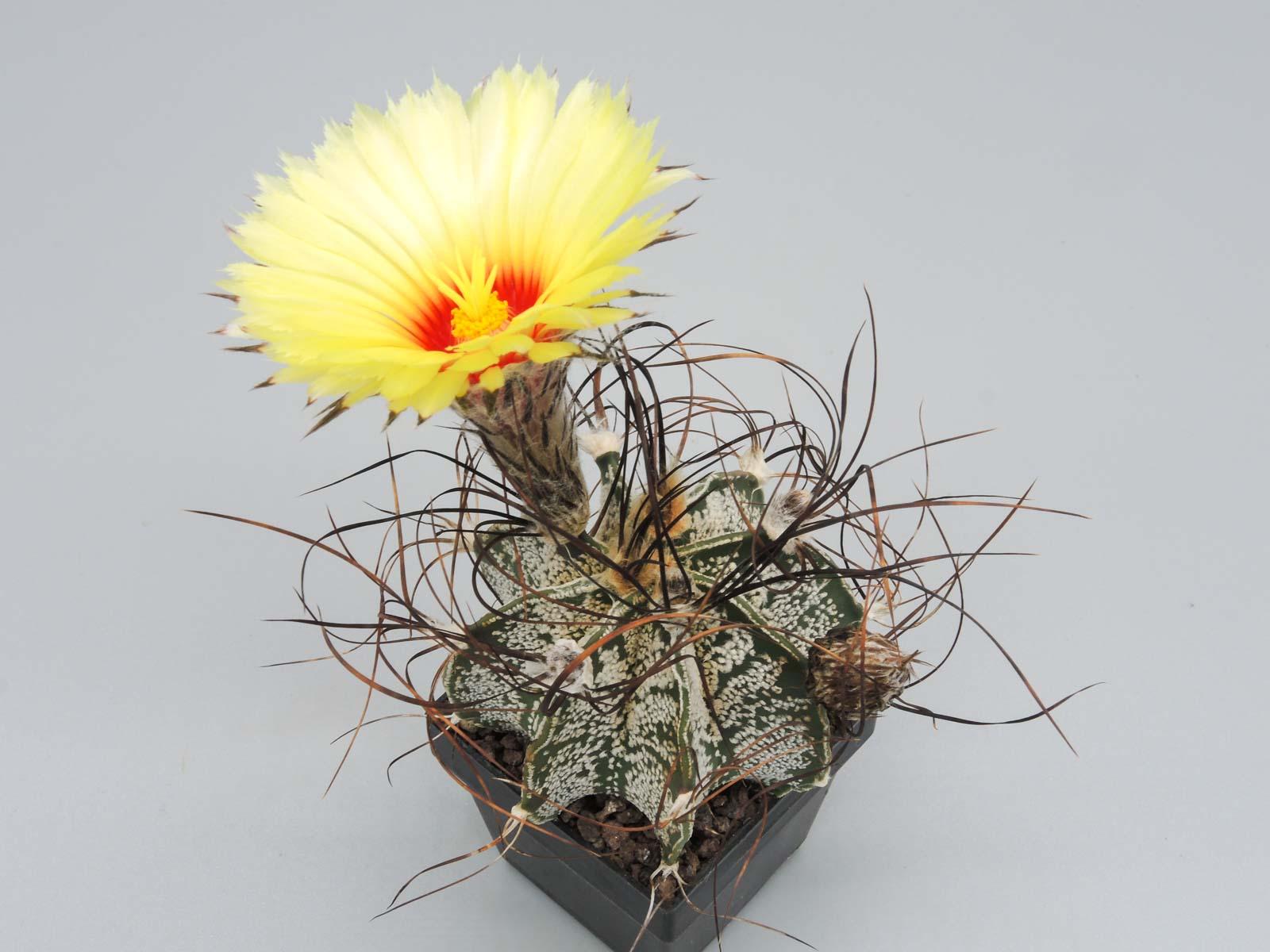 Astrophytum capricorne Hipolito