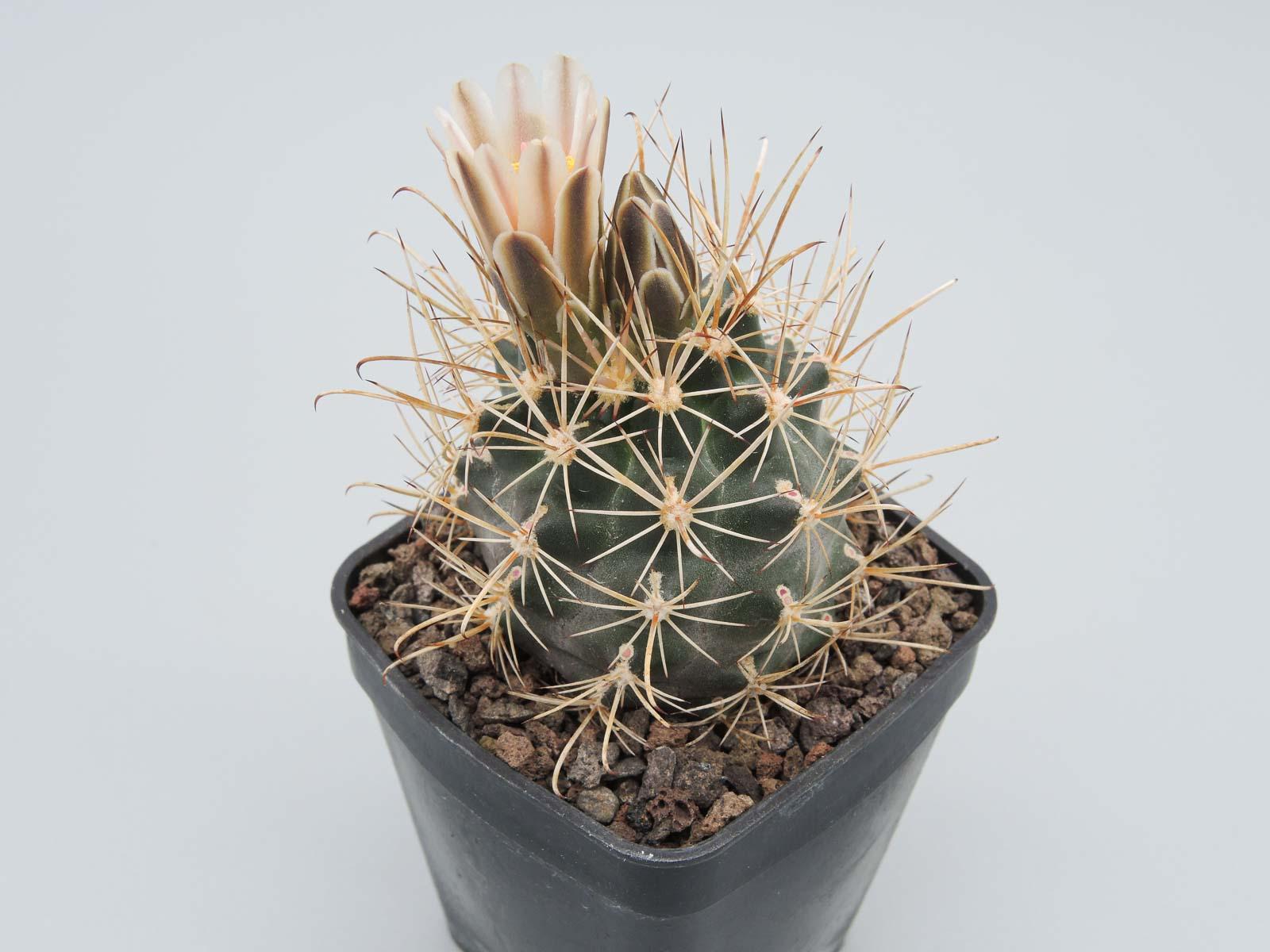 Ancistrocactus spec. Juarez-Progreso Coahuilense