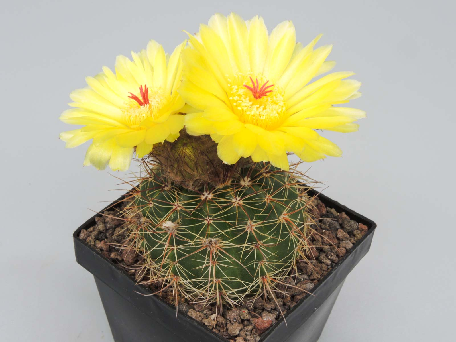 Notocactus harmonianus (glaucinus)