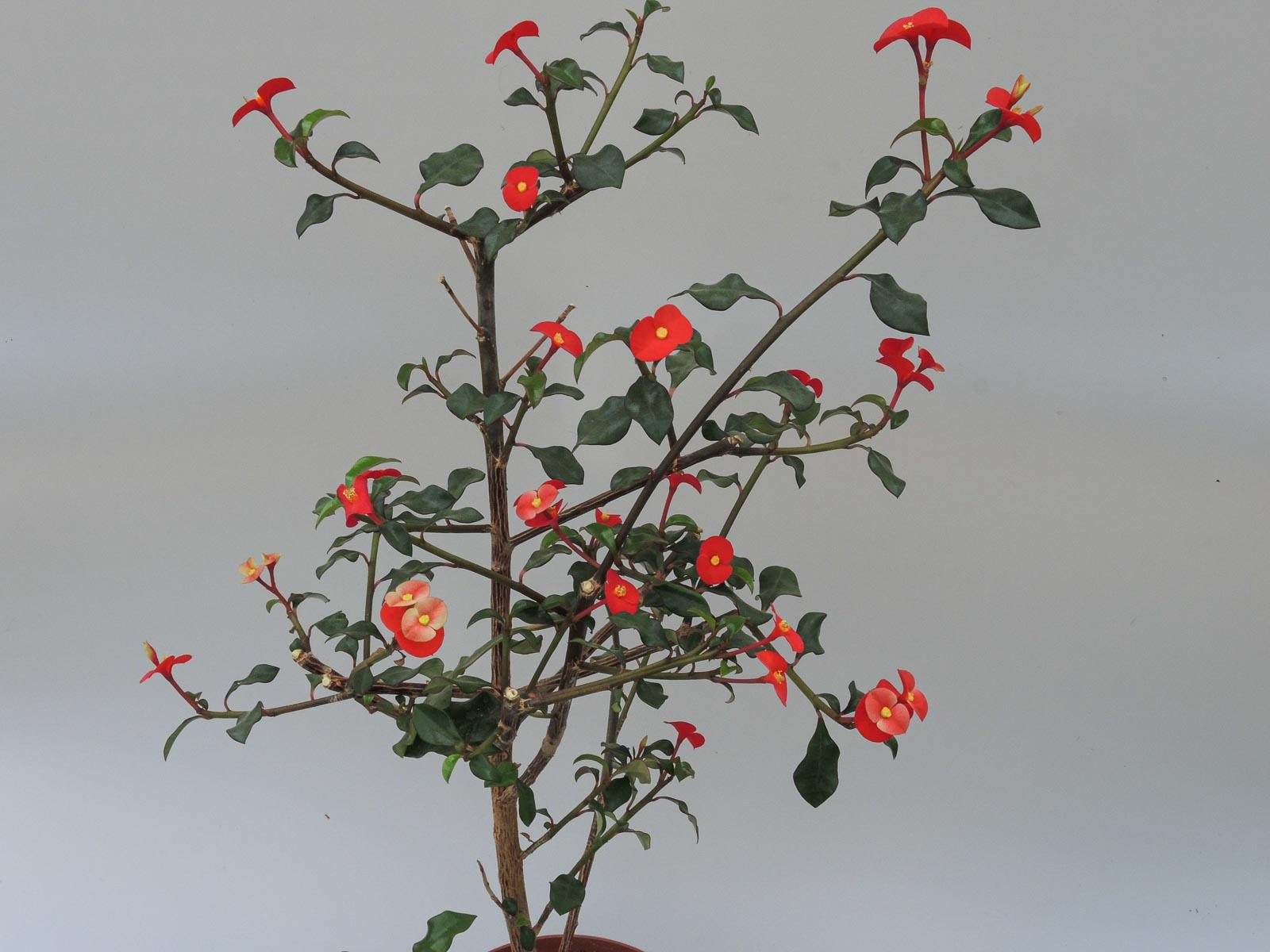 Euphorbia geroldii