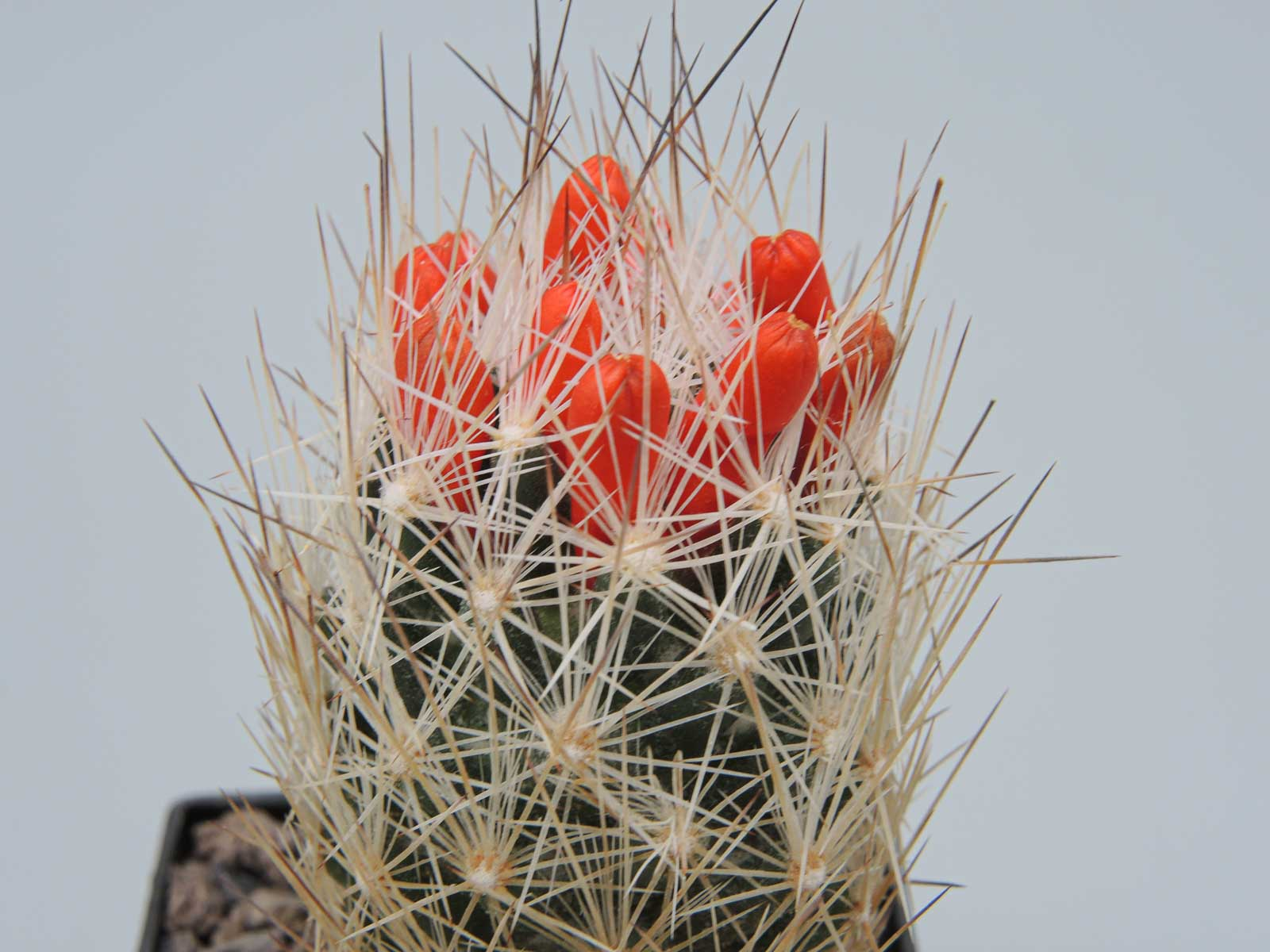 Escobaria zilziana Bustamente Nuevo Leon