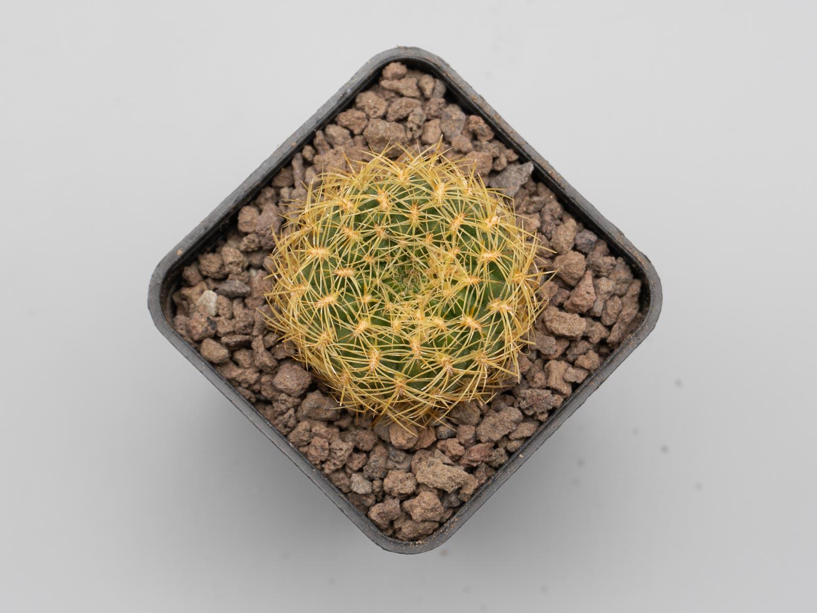 Sulcorebutia mentosa (flavissima) WR 277