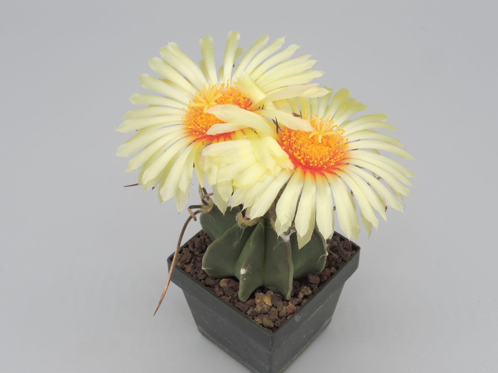 Astrophytum capricorne v. niveum nudum