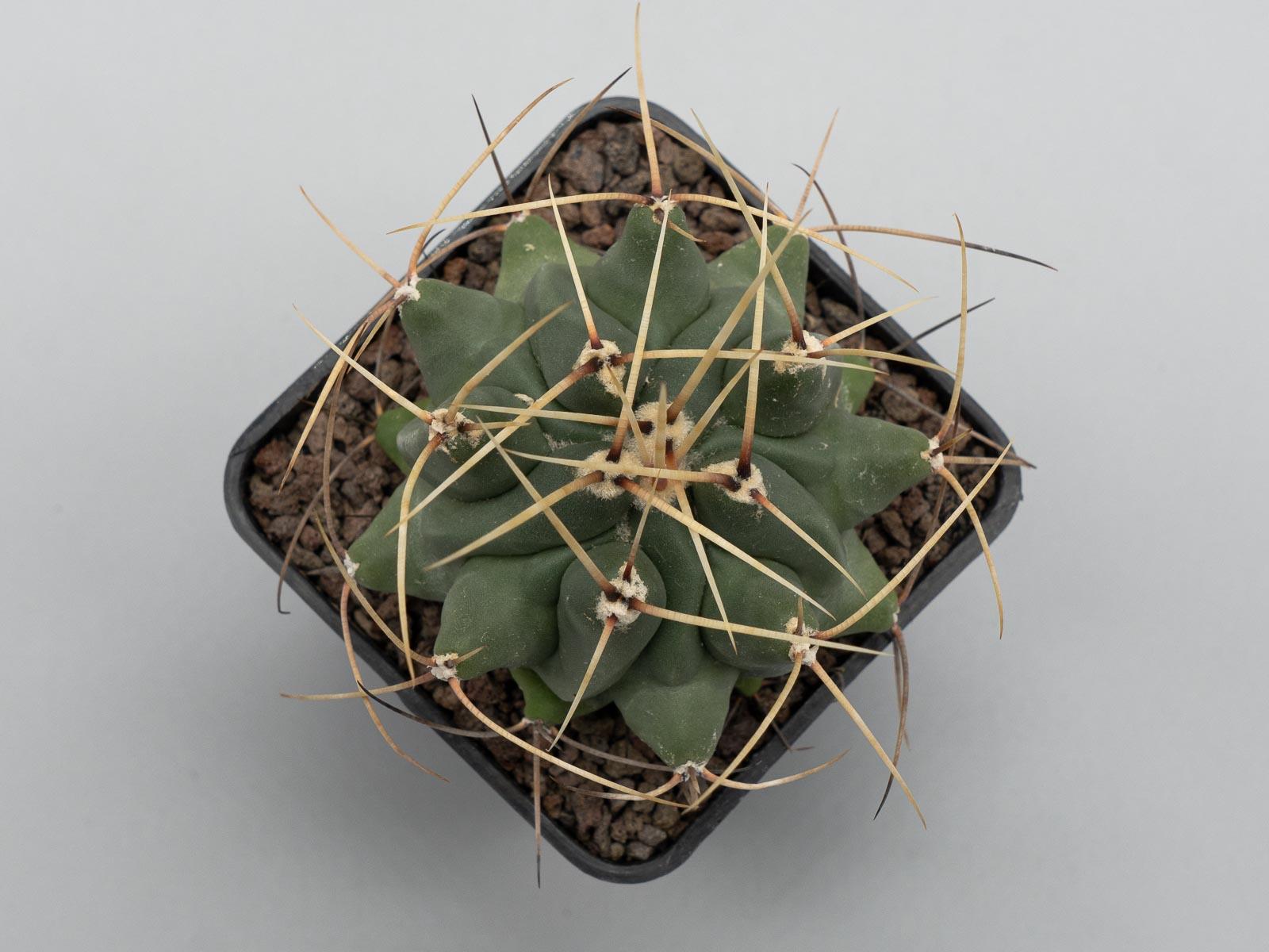 Thelocactus rinconensis v. nidulans