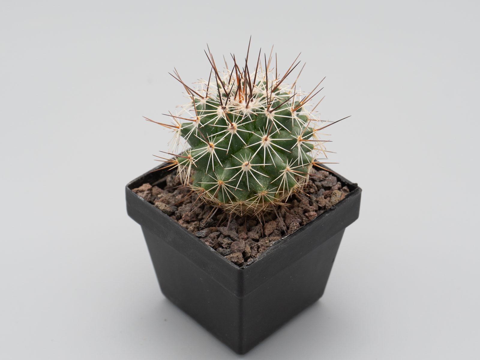 Mammillaria rubrograndis Tepehuanes