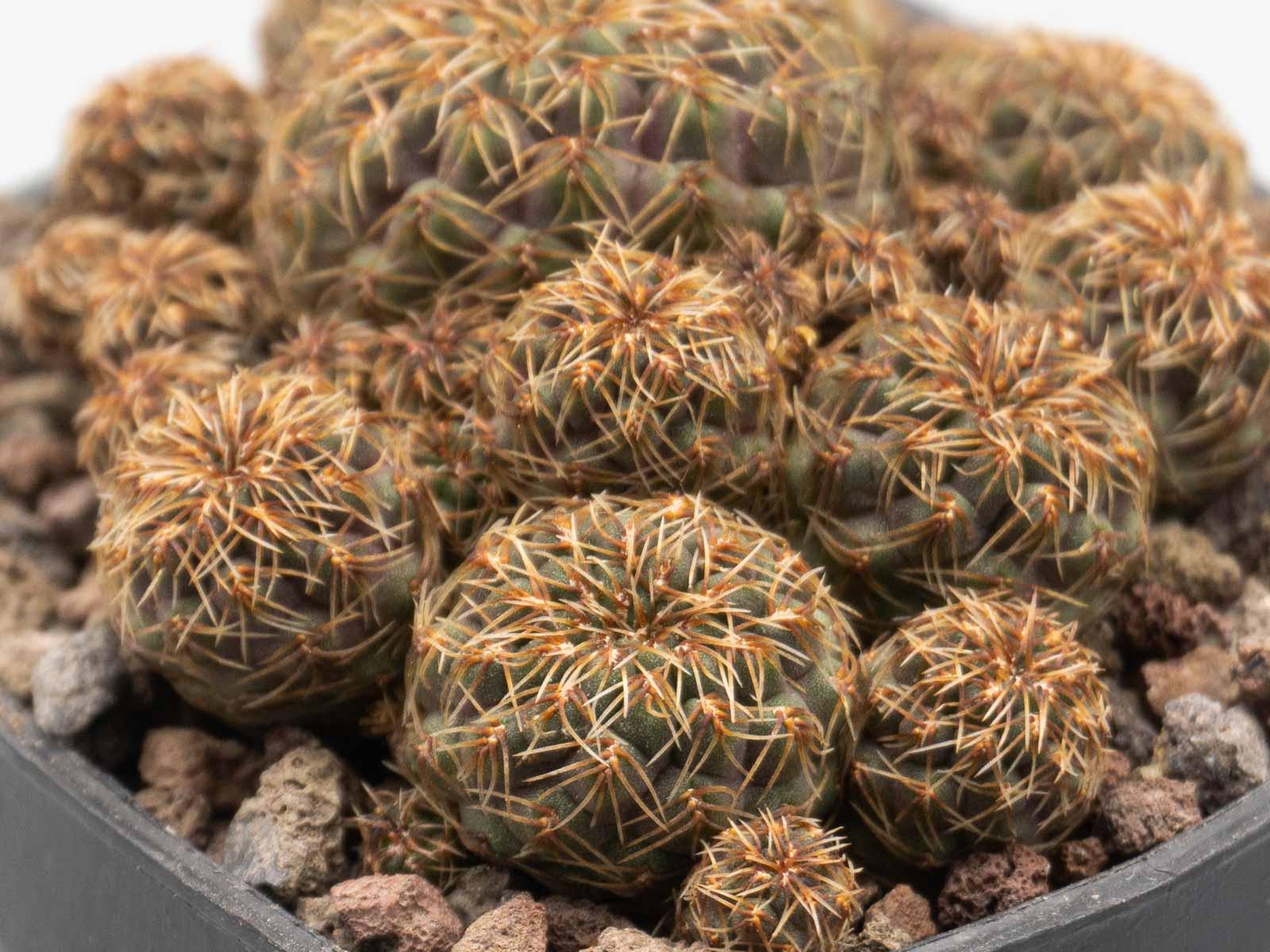 Sulcorebutia pasopayana L387