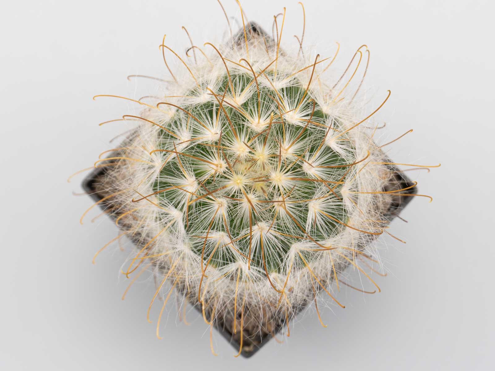 Mammillaria guelzowiana (v.robustior)