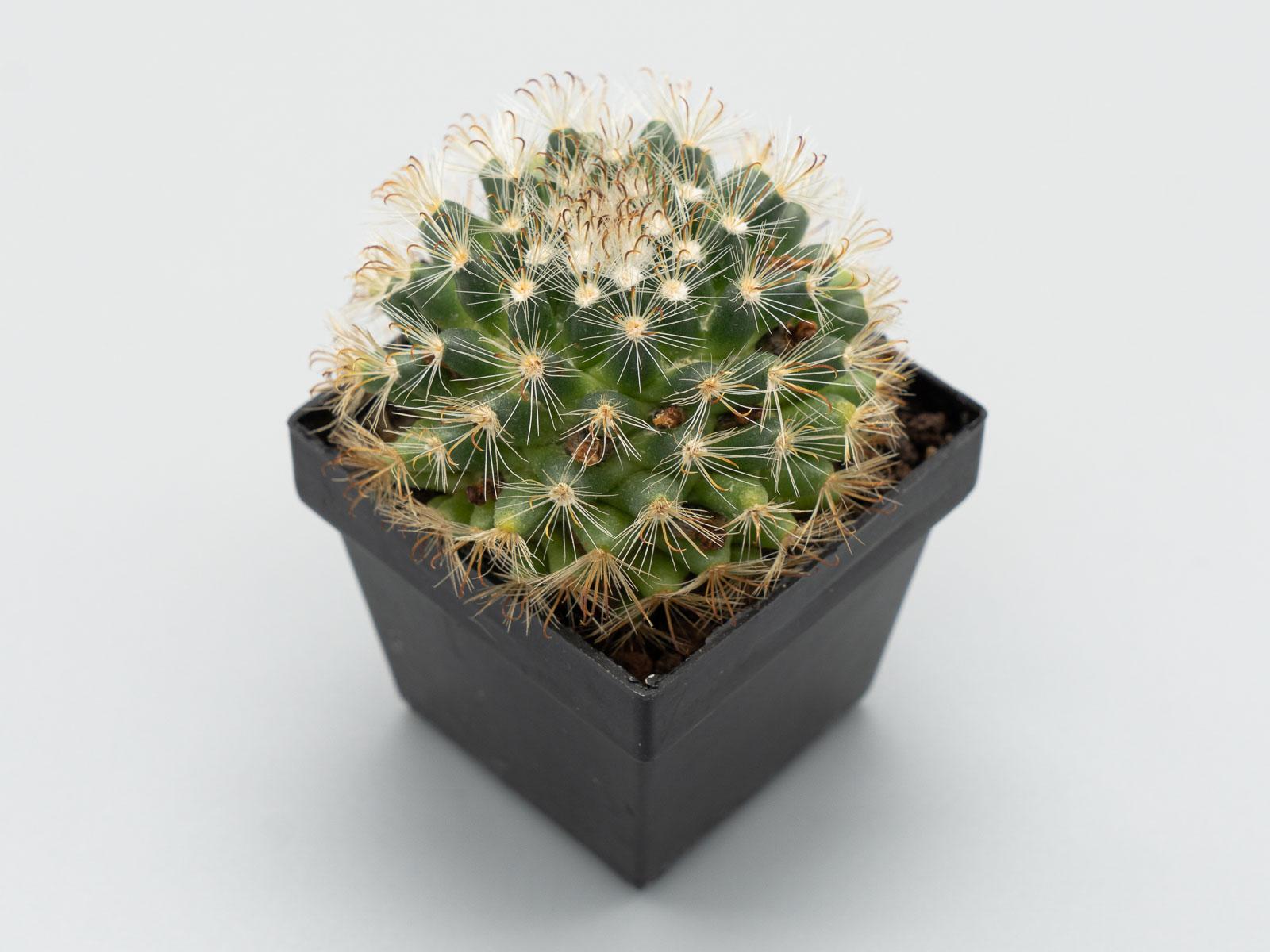 Mammillaria tepexicensis