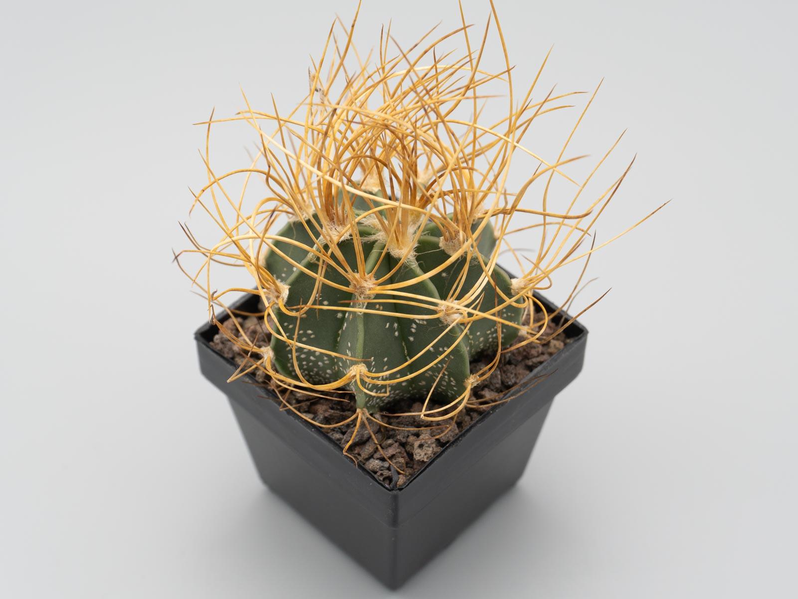 Astrophytum capricorne v. aureum