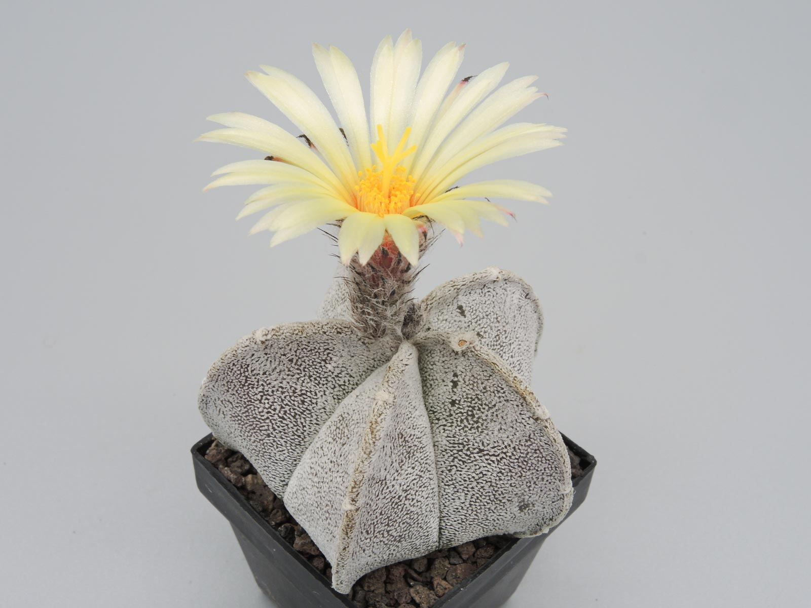 Astrophytum coahuilense Viesca