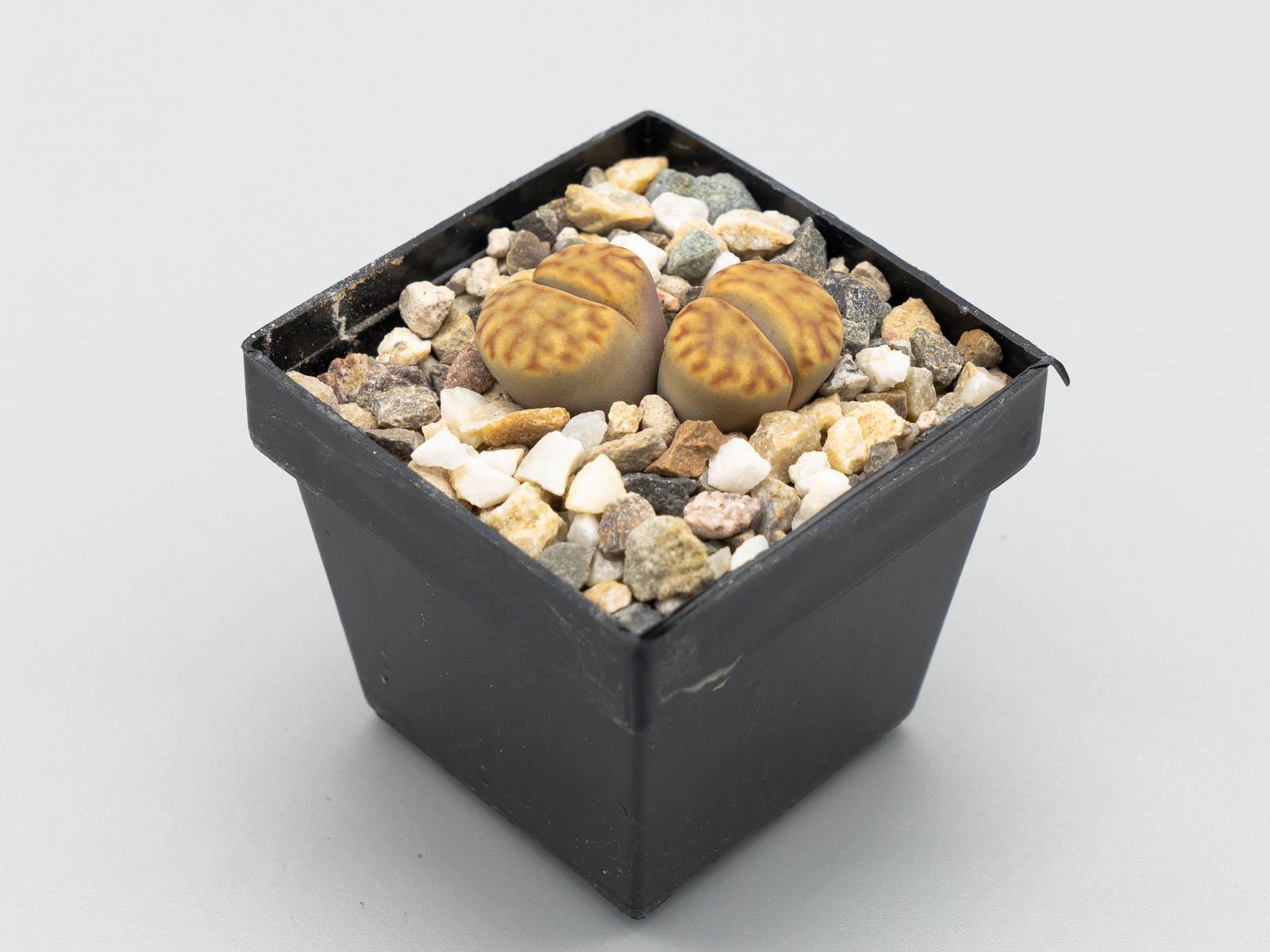 Lithops bromfieldii (bunte Form)