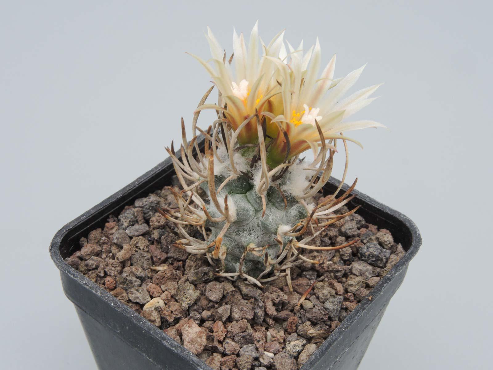 Turbinicarpus flaviflorus
