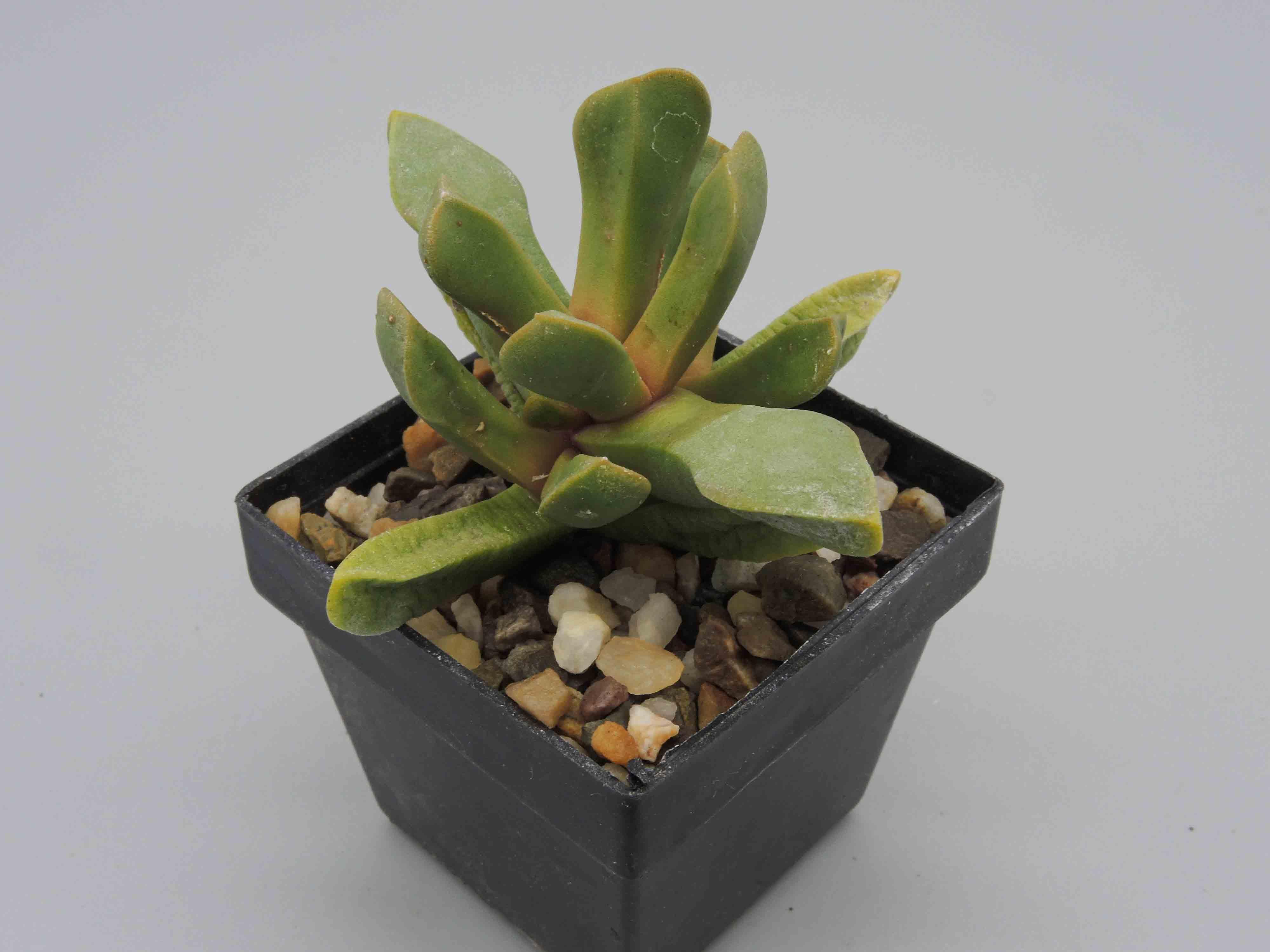 Cerochlamys pachyphylla Oudtshoorn