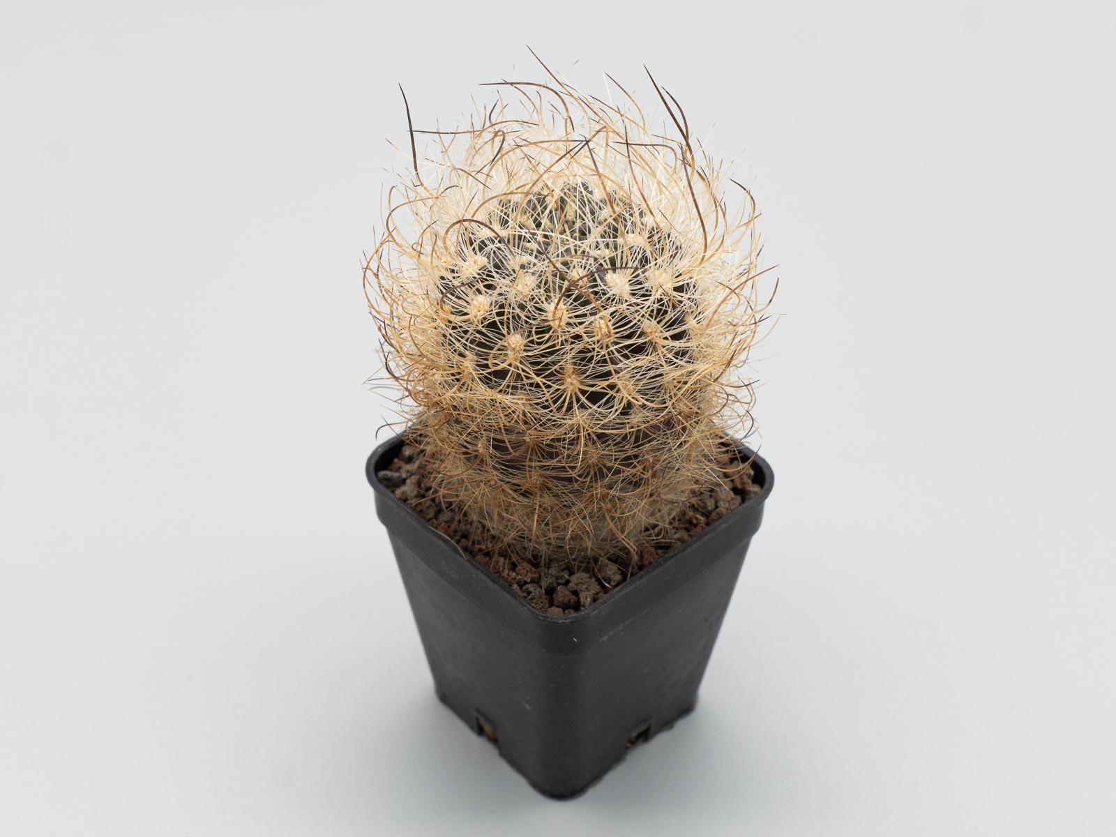Eriosyce senilis (Neoporteria)