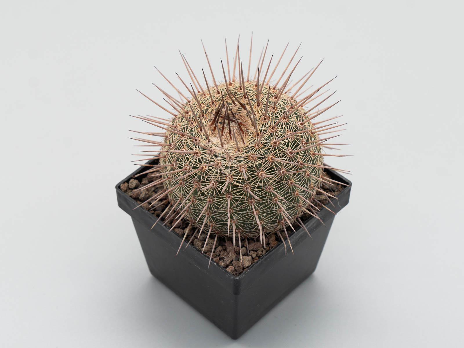 Notocactus eugeniae (mammulosus ssp.)