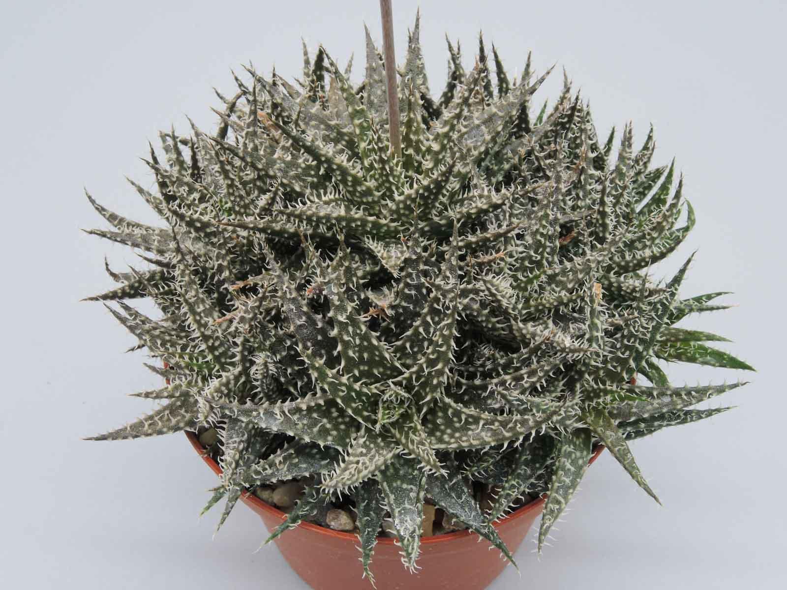 Aloe hybr. descoingsii x howorthioides