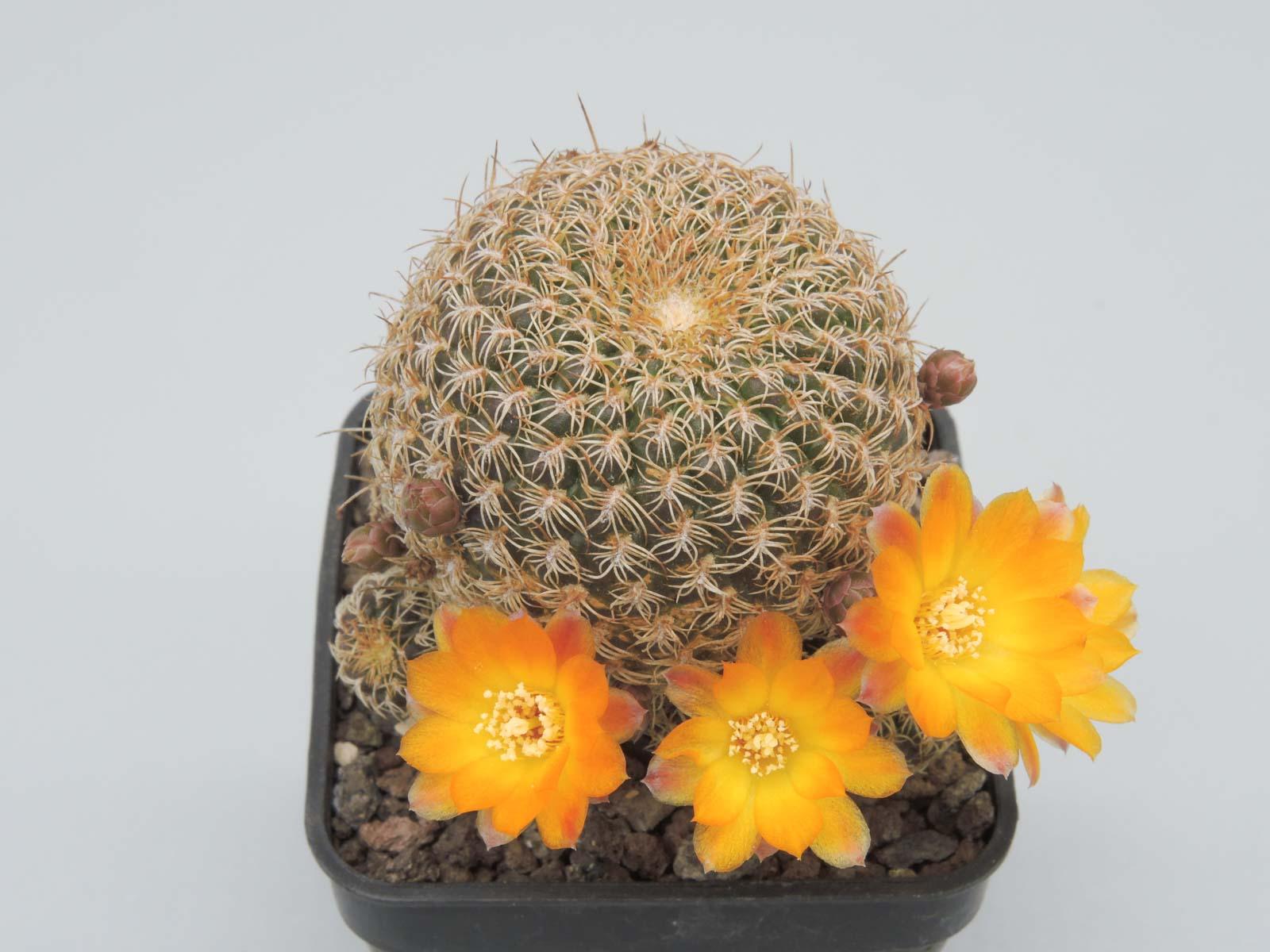 Sulcorebutia breviflora